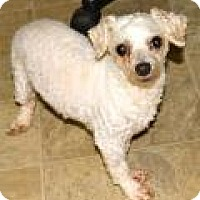 Bichon Frise/Poodle (Standard) Mix Dog for adoption in Memphis, Tennessee - Bruno