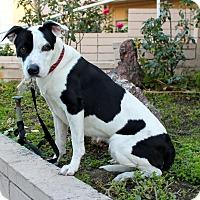 Adopt A Pet :: Valentina - LOVE THIS GIRL! - Los Angeles, CA