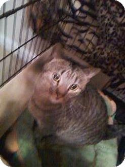 Domestic Shorthair Cat for adoption in Colmar, Pennsylvania - Tigger