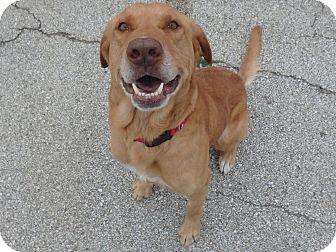 Labrador Retriever/Golden Retriever Mix Dog for adoption in Seguin, Texas - Cooper