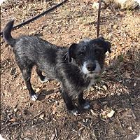 Adopt A Pet :: Ollie in San Antonio - Austin, TX