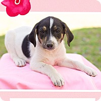 Adopt A Pet :: Petunia (dc) - Harrisonburg, VA