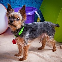 Adopt A Pet :: Dakota the Yorkie aka Luke - Elizabethtown, PA
