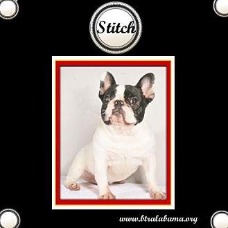 French Bulldog Dog for adoption in Alabaster, Alabama - Stitch