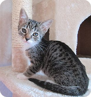 Domestic Shorthair Cat for adoption in San Bernardino, California - Chipmonk
