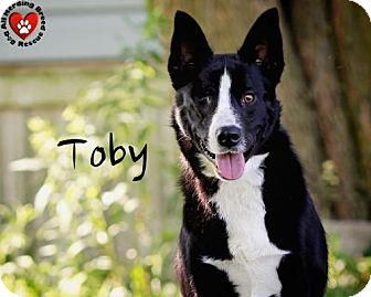 Border Collie Mix Dog for adoption in Joliet, Illinois - Toby