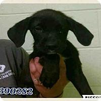 Adopt A Pet :: JULIA - San Antonio, TX