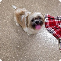 Shih Tzu Dog for adoption in Holland, Michigan - Data