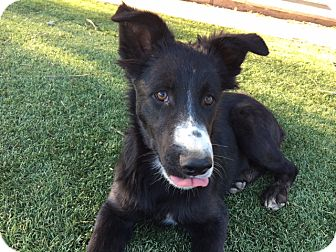 Border Collie Mix Puppy for adoption in San Pedro, California - DART