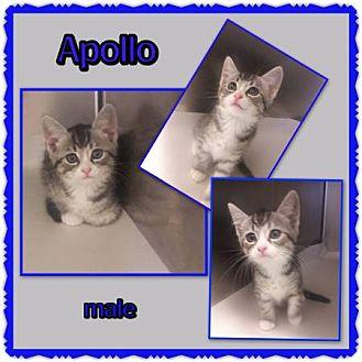 Domestic Shorthair Kitten for adoption in Richmond, California - Apollo