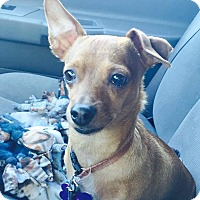 Chihuahua Mix Dog for adoption in Salem, Oregon - Baru