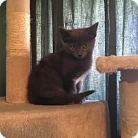 Domestic Shorthair Kitten for adoption in Greensburg, Pennsylvania - Madeline