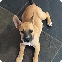 Boxer/Shepherd (Unknown Type) Mix Puppy for adoption in Flower Mound, Texas - Sally