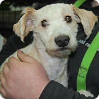 Adopt A Pet :: Nicholas - Brooklyn, NY