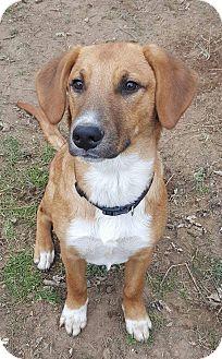 Collie/Labrador Retriever Mix Puppy for adoption in Lima, Pennsylvania - Jackson