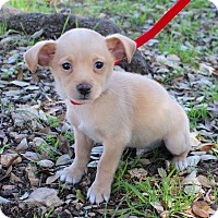 Spaniel (Unknown Type)/Chihuahua Mix Puppy for adoption in Jacksonville, Florida - PETER
