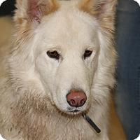 Adopt A Pet :: Bear (Neutered) - Marietta, OH