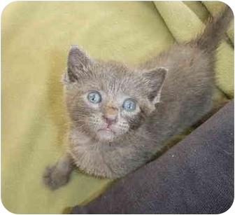 Siamese Cat Adoption Miami