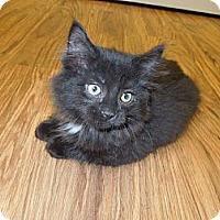 Adopt A Pet :: Boo Boo Kitty - Medina, OH