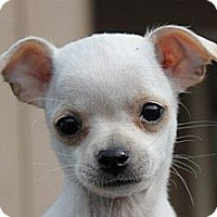 Adopt A Pet :: Tiny Caroline - La Habra Heights, CA