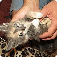 Adopt A Pet :: Penny - Edmond, OK