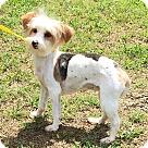 Adopt A Pet :: Lauralyn (POM-CD)