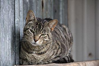 Domestic Shorthair Cat for adoption in Centerton, Arkansas - Joelle