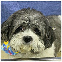 Adopt A Pet :: Dazzle - Forked River, NJ