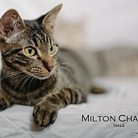 Domestic Shorthair Cat for adoption in St. Louis, Missouri - Milton Chance (Courtesy Post)