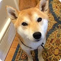 Adopt A Pet :: Milo - Centennial, CO