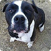 Adopt A Pet :: Boomer - San Francisco, CA