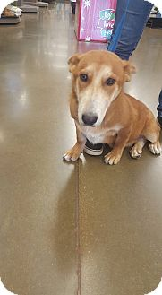 Corgi Mix Dog for adoption in Fresno, California - Quinn