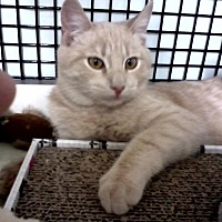Domestic Shorthair Kitten for adoption in San Fernando Valley, California - Bradley