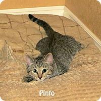 Adopt A Pet :: Pinto - Bentonville, AR