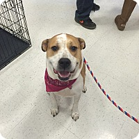 Adopt A Pet :: Sassy in CT - East Hartford, CT