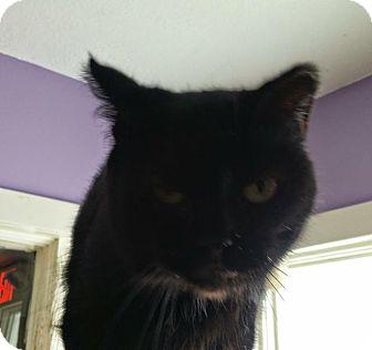 Domestic Shorthair Cat for adoption in Port Clinton, Ohio - Tweety