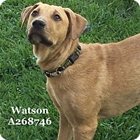 Adopt A Pet :: WATSON - Conroe, TX
