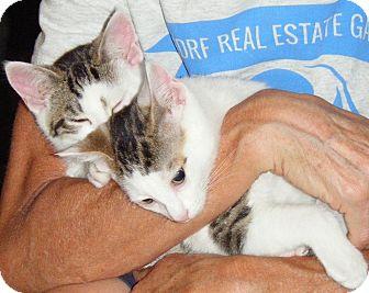 Domestic Shorthair Kitten for adoption in Kensington, Maryland - Lefty & Righty