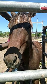 Quarterhorse Mix for adoption in Hitchcock, Texas - Kibo