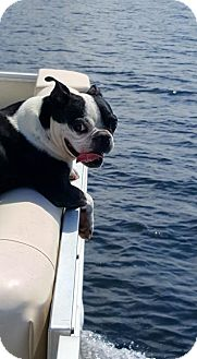 Boston Terrier Dog for adoption in High Point, North Carolina - Glendal
