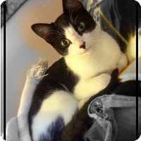 Domestic Shorthair Kitten for adoption in Princeton, Minnesota - Grizabella