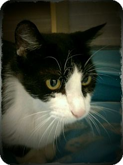 Domestic Shorthair Cat for adoption in Pueblo West, Colorado - London