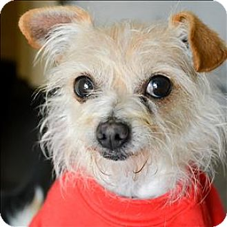 Maltese/Terrier (Unknown Type, Medium) Mix Dog for adoption in Vallejo, California - J.J.
