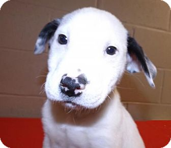 Labrador Retriever/Australian Cattle Dog Mix Puppy for adoption in Oxford, Mississippi - Sinbad