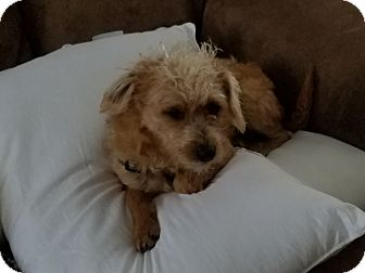 Poodle (Miniature) Mix Dog for adoption in Hainesville, Illinois - Prancer