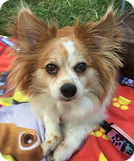 Papillon/Corgi Mix Dog for adoption in Kansas City, Missouri - Bailey