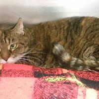 Adopt A Pet :: Mrs. Kitty - Caro, MI