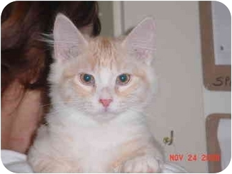 Domestic Longhair Kitten for adoption in Pendleton, Oregon - Peach