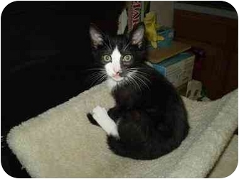 Domestic Shorthair Kitten for adoption in Boston, Massachusetts - Wallie!