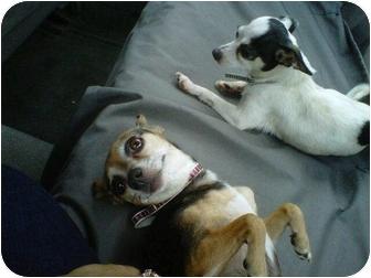 Chihuahua/Dachshund Mix Dog for adoption in Rancho Cordova, California - Abbey & Nicky